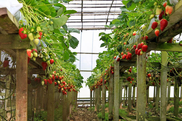 Strawberries here are grown by hydroponic cultivation methods