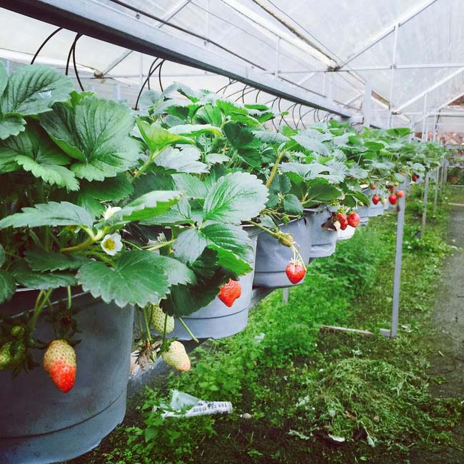 Strawberry at Nguyen Lam Thanh farm is grown without pesticides - strawberry gardens in Da Lat