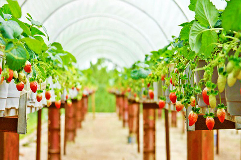 The airy space at Biofresh Strawberry Farm