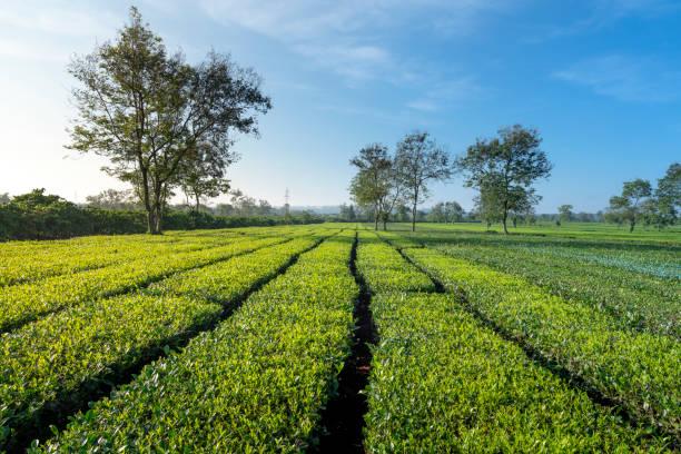 Bien Ho tea farm in Gia Lai