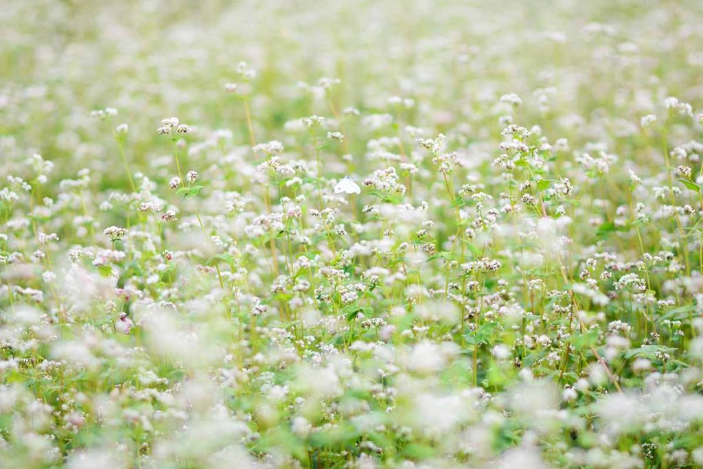 Buckwheat flower - the typical flower of Ha Giang - Vietnam in December